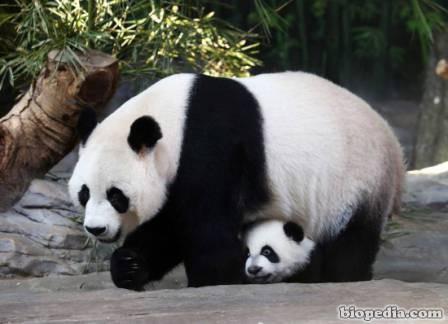 Especies En Peligro De Extinción Panda Gigante Biopedia