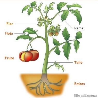 Las estructura de una planta sus partes biopedia for Plantas decorativas con sus nombres