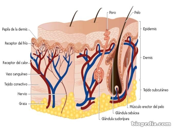 Sistema tegumentario: la piel | BIOPEDIA