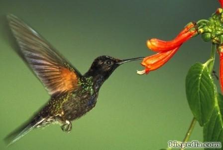 polinizacion-colibri
