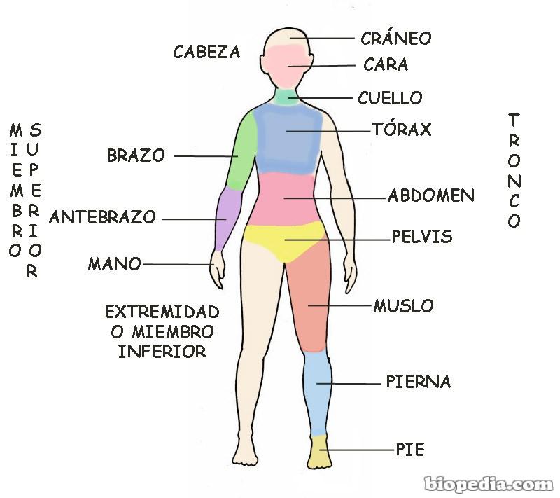 Regiones corporales del cuerpo humano | BIOPEDIA