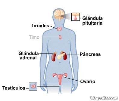 Sistema Endocrino | BIOPEDIA