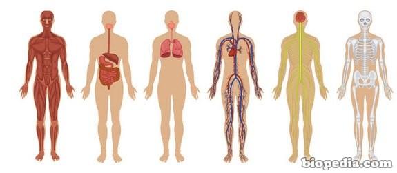 El Cuerpo Humano: Sistemas Del Cuerpo Humano
