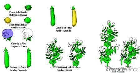 mendel-guisantes